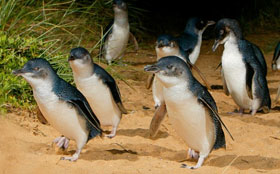 Phillip Island Accommodation - Penguin Parade